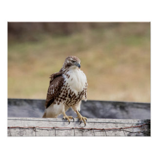 20x16 Portrait of an Immature Red Tailed Hawk Poster