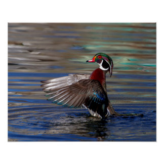 20x16 Wing Flapping Wood Duck Poster