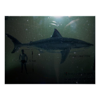 21 foot Great White to man Poster