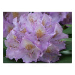 """24"""" x 18"""" Light Plum Rhododendron in Spring Print"""