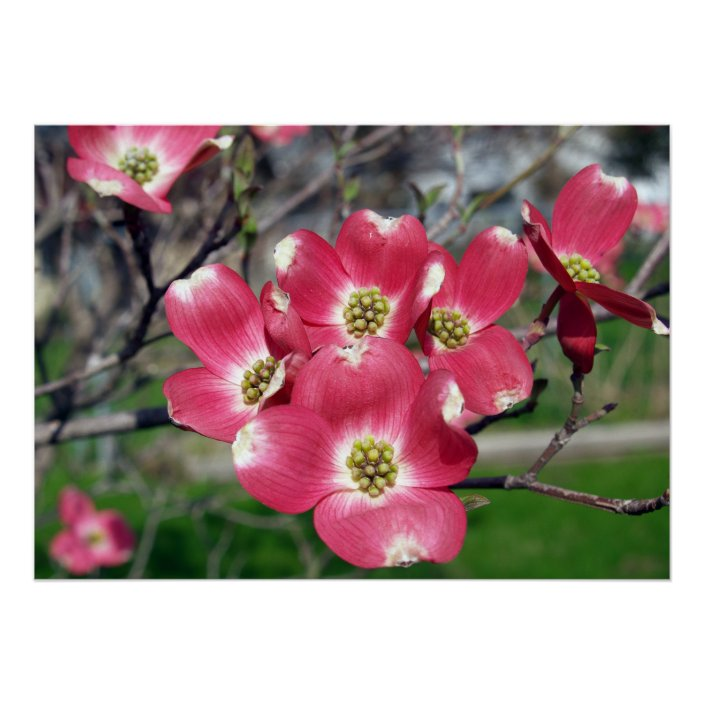 28x20 Dogwood Tree Blooms Poster Zazzle Com