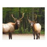 2 alces de la montaña rocosa tarjeta postal