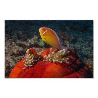 2 Clownfish e impresión de la foto de la anémona Fotografías