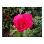2 color de rosa de color rosa oscuro postales