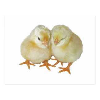 2 Cute Yellow Basque Chicks Post Cards