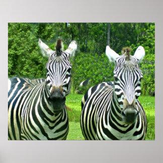 2 Cute Zebras Poster