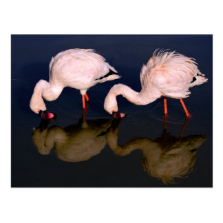 2 Flamingo Waders Postcard