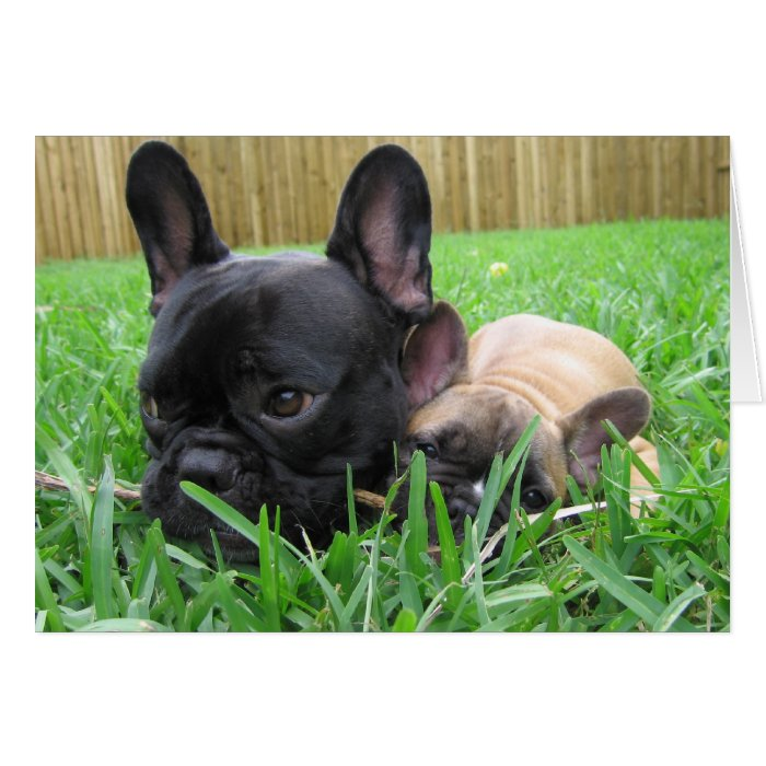 2 french bulldogs in the grass card