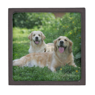 2 Golden Retrievers Laying in Grass Gift Box