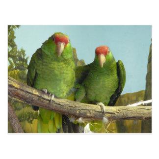 2 green parrots postcard