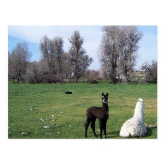 2 Llamas In Field Postcard