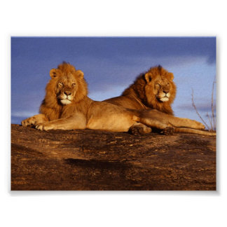 2 Lounging Lions Poster