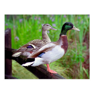 2 Mallards On a Fence Postcard