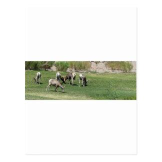 (2) ovejas del Big Horn IMG_1180 Postal