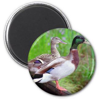 2 patos silvestres en un imán de la cerca