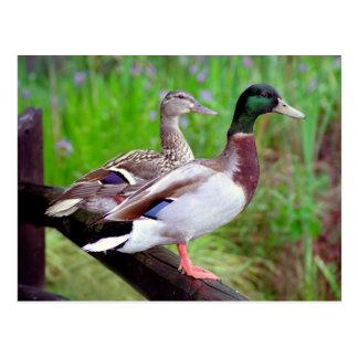 2 patos silvestres en una postal de la cerca