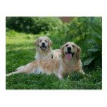 2 perros perdigueros de oro que ponen en hierba tarjeta postal
