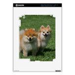2 Pomeranians Looking at Camera iPad 3 Decals