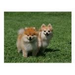 2 Pomeranians Looking at Camera Postcard