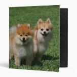 2 Pomeranians Looking at Camera Vinyl Binders