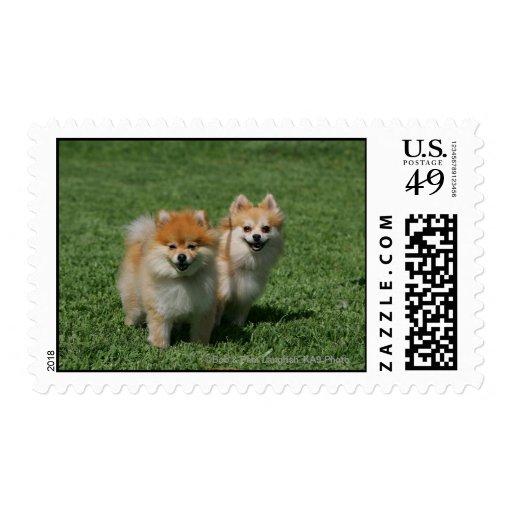 2 Pomeranians que mira la cámara Estampillas