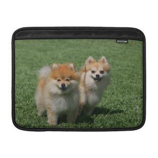 2 Pomeranians que mira la cámara Fundas MacBook