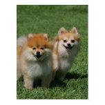 2 Pomeranians que mira la cámara Postal