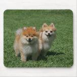 2 Pomeranians que mira la cámara Tapetes De Ratones