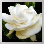 2 Pure White Gardenia Posters