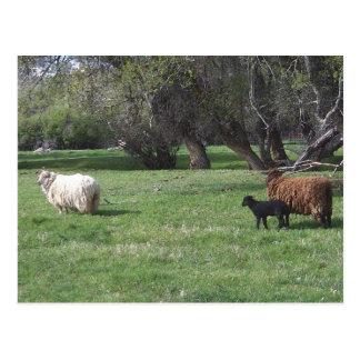 2 Sheep and a Lamb Postcard