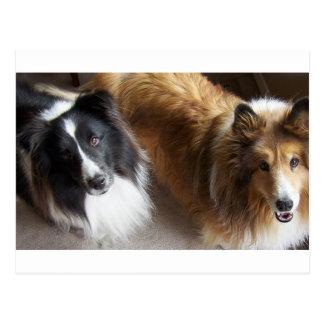 2 shetland sheepdogs.png postcard