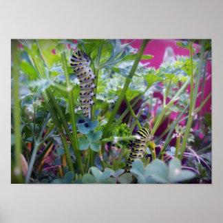 2 Swallowtail Caterpillars Posters