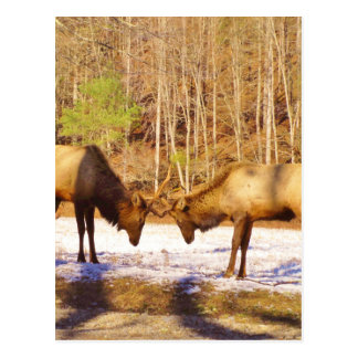 2~ two Bull Elk in the snow Post Cards