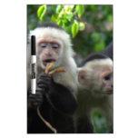 2 White Face Capuchin Monkeys Dry-Erase Whiteboard