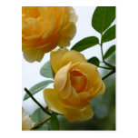 2 Yellow Roses Post Cards