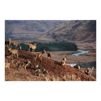36 x 24 ciervos comunes del ins en la cañada Etive Impresiones