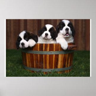 3 Adorable Saint Bernard Puppies in a Barrel Poster
