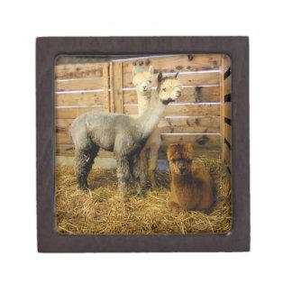 3 Alpaca's Keepsake Box