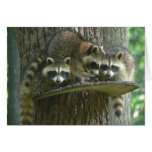 3 Baby Raccoons Card
