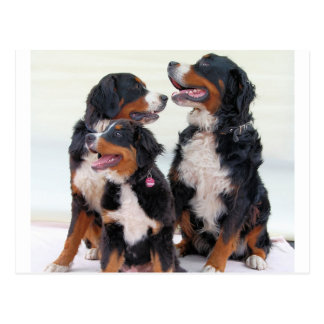 3 bernese-mountain-dogs.png postcard