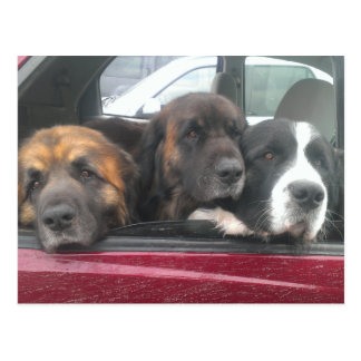 3 Big Puppies Postcard