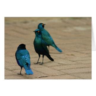 3 Blue-eared Starlings Card