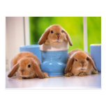 3 Bunnies Post Cards