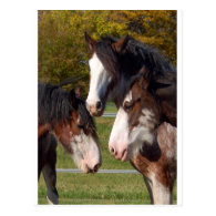 3 Clydesdale heads Postcard