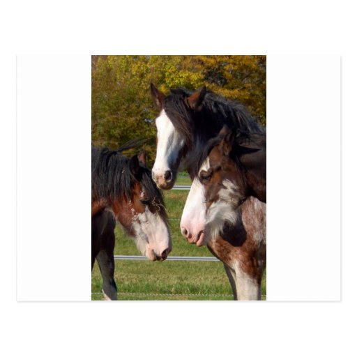3 Clydesdale heads Postcards