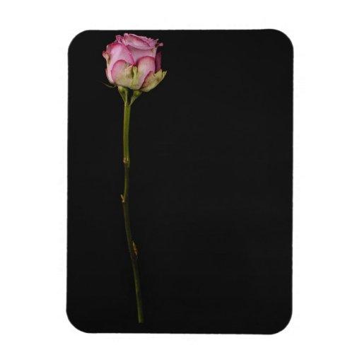 3 color de rosa rosados imán de vinilo