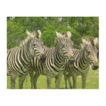 3 Cute Zebras Wood Print