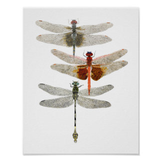 3 Dragonfly Art Poster