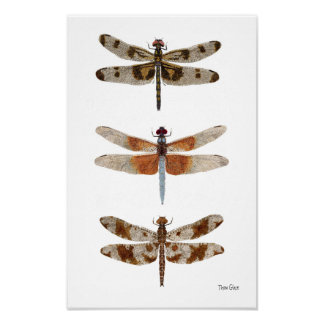 3 Dragonfly Species Art Poster