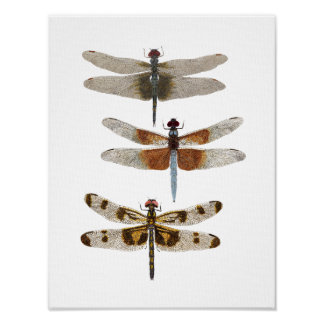 3 Dragonfly Species Poster